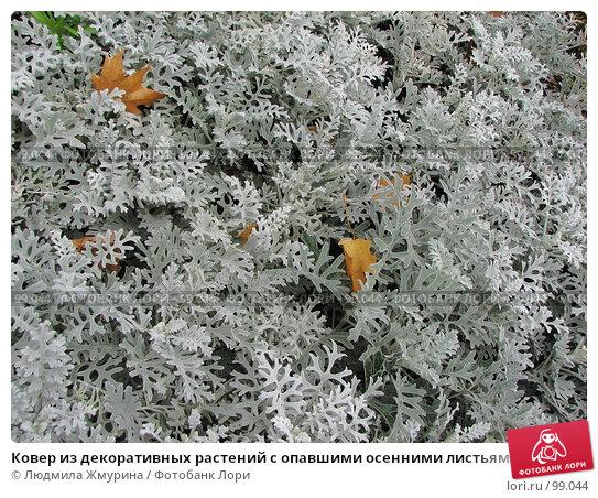 Ковер из декоративных растений с опавшими осенними листьями, фото № 99044, снято 18 августа 2017 г. (c) Людмила Жмурина / Фотобанк Лори