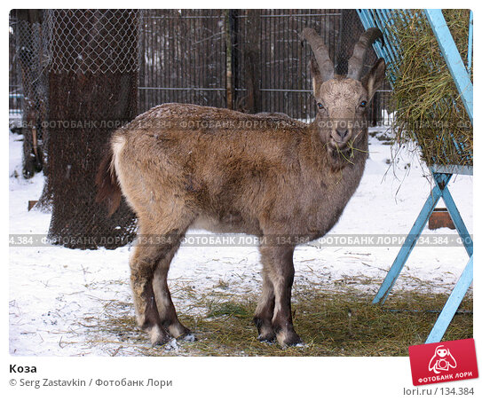Купить «Коза», фото № 134384, снято 7 ноября 2004 г. (c) Serg Zastavkin / Фотобанк Лори