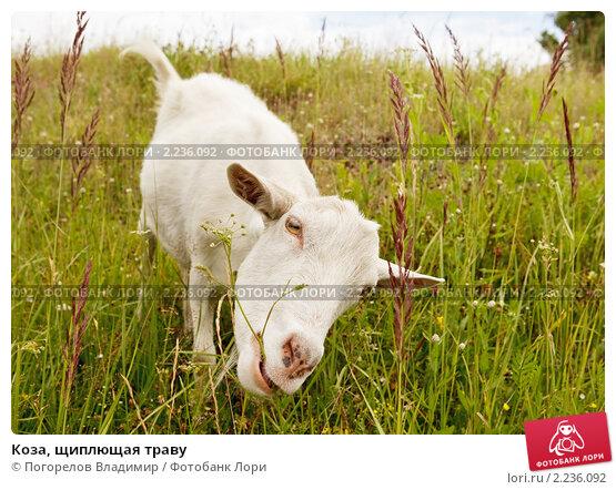 Купить «Коза, щиплющая траву», фото № 2236092, снято 20 февраля 2019 г. (c) Погорелов Владимир / Фотобанк Лори