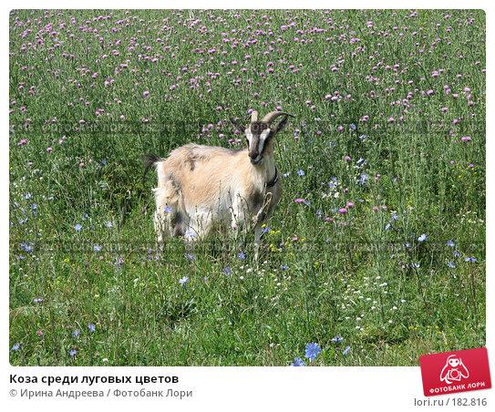 Коза среди луговых цветов, фото № 182816, снято 4 июля 2007 г. (c) Ирина Андреева / Фотобанк Лори