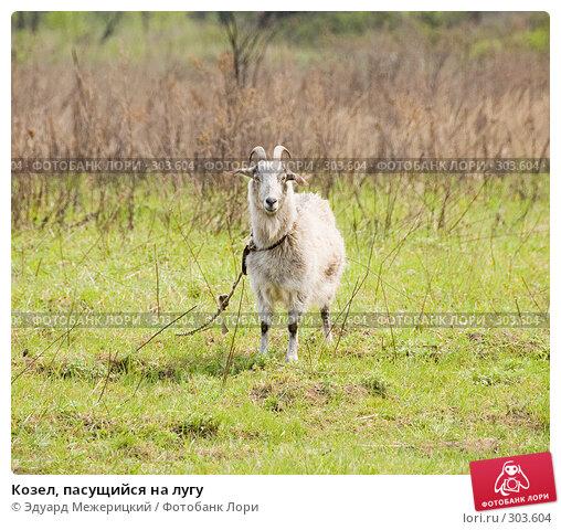 Купить «Козел, пасущийся на лугу», фото № 303604, снято 2 мая 2008 г. (c) Эдуард Межерицкий / Фотобанк Лори