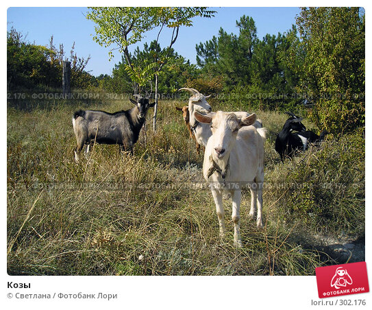 Козы, фото № 302176, снято 22 сентября 2007 г. (c) Светлана / Фотобанк Лори