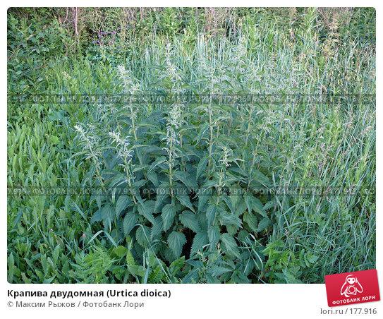 Крапива двудомная (Urtica dioica), фото № 177916, снято 25 июня 2007 г. (c) Максим Рыжов / Фотобанк Лори