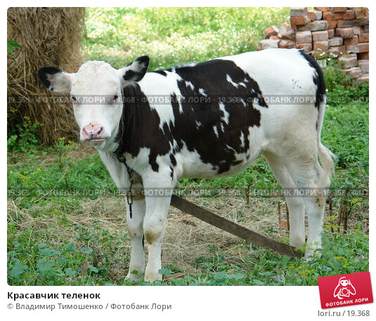 Купить «Красавчик теленок», фото № 19368, снято 7 августа 2006 г. (c) Владимир Тимошенко / Фотобанк Лори