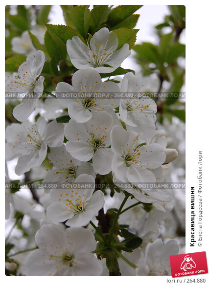 Красавица вишня, фото № 264880, снято 27 апреля 2008 г. (c) Елена Гордеева / Фотобанк Лори