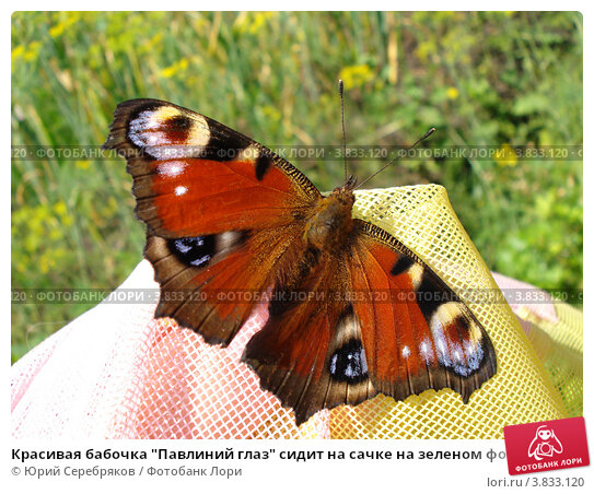 """Красивая бабочка """"Павлиний глаз"""" сидит на сачке на зеленом фоне. Стоковое фото, фотограф Юрий Серебряков / Фотобанк Лори"""