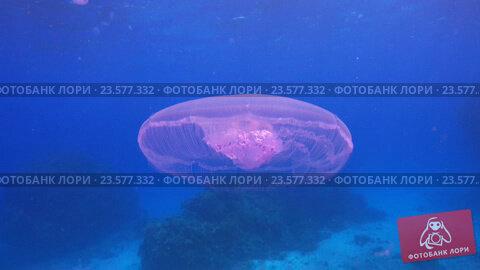 Купить «Красивая медуза, плавающая среди коралловых рифов», видеоролик № 23577332, снято 23 сентября 2016 г. (c) Discovod / Фотобанк Лори
