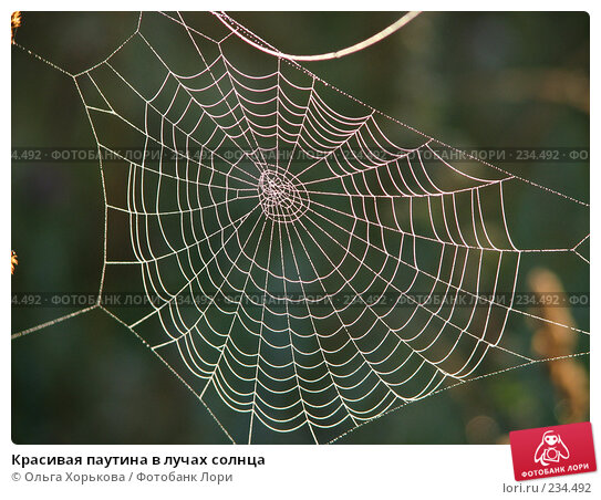 Красивая паутина в лучах солнца, фото № 234492, снято 9 августа 2007 г. (c) Ольга Хорькова / Фотобанк Лори