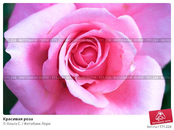Красивая роза, фото № 171224, снято 28 октября 2016 г. (c) Ольга С. / Фотобанк Лори