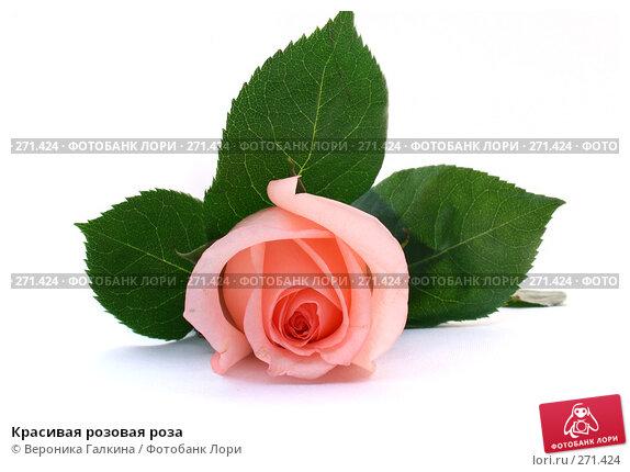Красивая розовая роза, фото № 271424, снято 10 января 2008 г. (c) Вероника Галкина / Фотобанк Лори