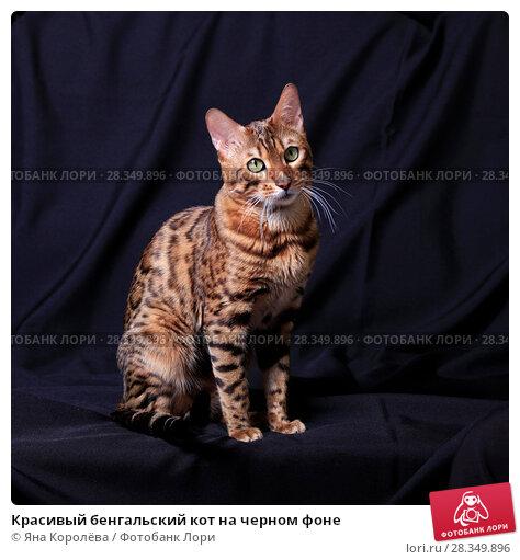 Купить «Красивый бенгальский кот на черном фоне», фото № 28349896, снято 30 апреля 2018 г. (c) Яна Королёва / Фотобанк Лори