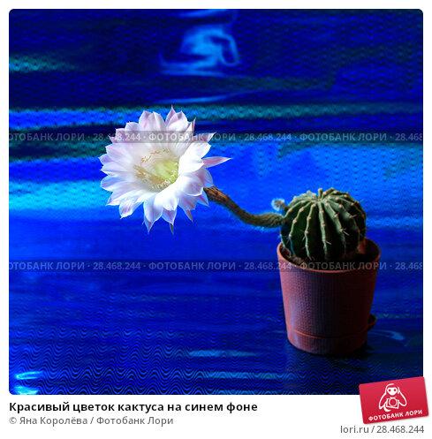 Купить «Красивый цветок кактуса на синем фоне», фото № 28468244, снято 26 мая 2018 г. (c) Яна Королёва / Фотобанк Лори