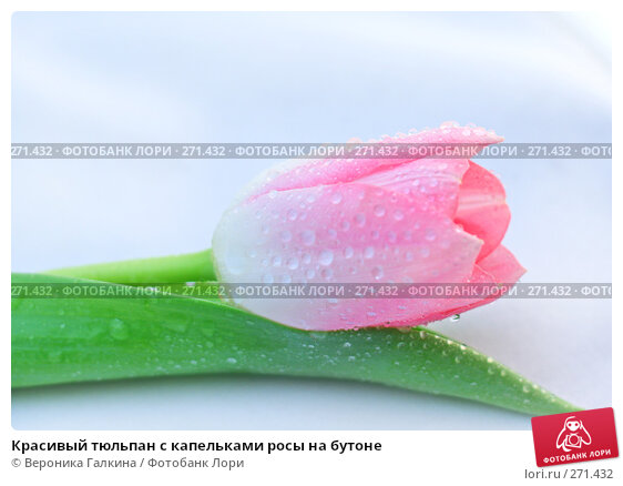Красивый тюльпан с капельками росы на бутоне, фото № 271432, снято 1 марта 2008 г. (c) Вероника Галкина / Фотобанк Лори