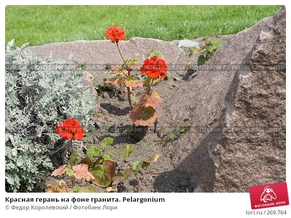 Красная герань на фоне гранита. Pelargonium, фото № 269764, снято 1 мая 2008 г. (c) Федор Королевский / Фотобанк Лори