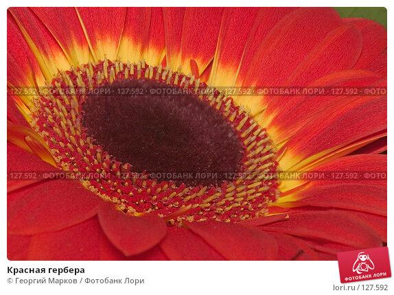 Купить «Красная гербера», фото № 127592, снято 20 марта 2018 г. (c) Георгий Марков / Фотобанк Лори