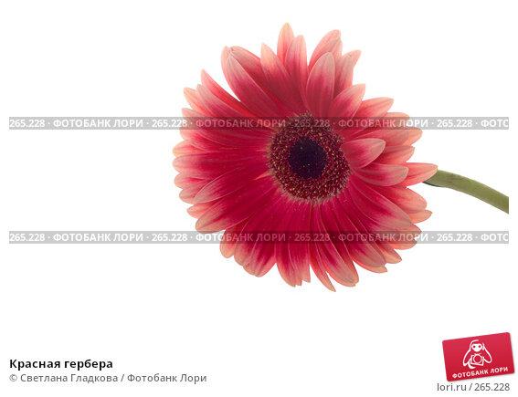 Красная гербера, фото № 265228, снято 13 января 2008 г. (c) Cветлана Гладкова / Фотобанк Лори
