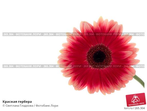 Красная гербера, фото № 265304, снято 13 января 2008 г. (c) Cветлана Гладкова / Фотобанк Лори