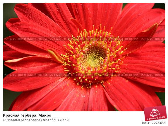 Красная гербера. Макро, фото № 273636, снято 3 мая 2008 г. (c) Наталья Белотелова / Фотобанк Лори