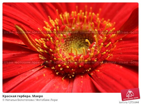 Купить «Красная гербера. Макро», фото № 273644, снято 3 мая 2008 г. (c) Наталья Белотелова / Фотобанк Лори