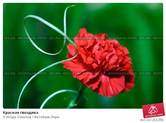 Красная гвоздика, фото № 253356, снято 27 февраля 2008 г. (c) Игорь Соколов / Фотобанк Лори