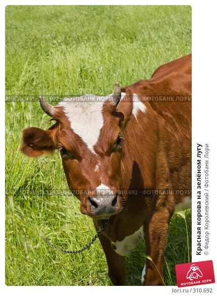 Купить «Красная корова на зелёном лугу», фото № 310692, снято 4 июня 2008 г. (c) Федор Королевский / Фотобанк Лори