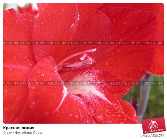 Красная лилия, фото № 338764, снято 19 августа 2006 г. (c) sav / Фотобанк Лори