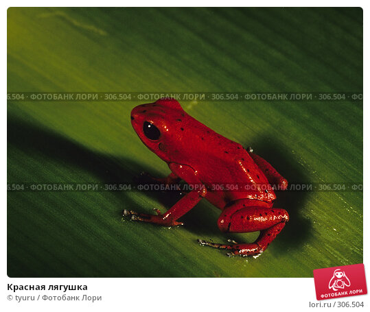 Красная лягушка, фото № 306504, снято 20 июля 2017 г. (c) tyuru / Фотобанк Лори