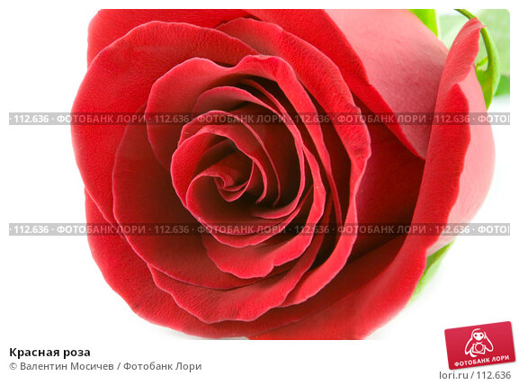 Красная роза, фото № 112636, снято 10 февраля 2007 г. (c) Валентин Мосичев / Фотобанк Лори