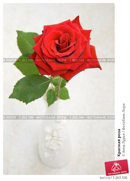 Купить «Красная роза», фото № 1263100, снято 10 июля 2009 г. (c) Анна Лурье / Фотобанк Лори