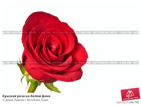 красная роза  Стоковое фото  elenathewise 4948931