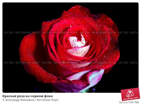 Красная роза на черном фоне, фото № 141708, снято 10 марта 2007 г. (c) Александр Максимов / Фотобанк Лори