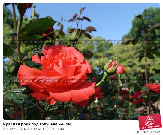 Красная роза под голубым небом, фото № 277576, снято 7 мая 2008 г. (c) Рамиль Усманов / Фотобанк Лори
