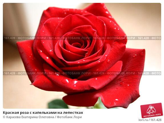 Красная роза с капельками на лепестках, фото № 161428, снято 24 июня 2007 г. (c) Карасева Екатерина Олеговна / Фотобанк Лори