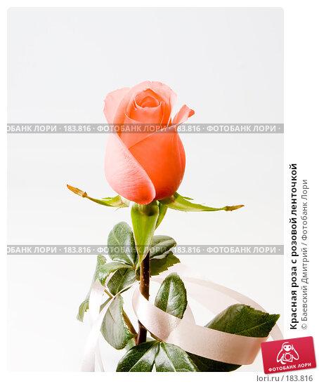 Красная роза с розовой ленточкой, фото № 183816, снято 26 февраля 2017 г. (c) Баевский Дмитрий / Фотобанк Лори