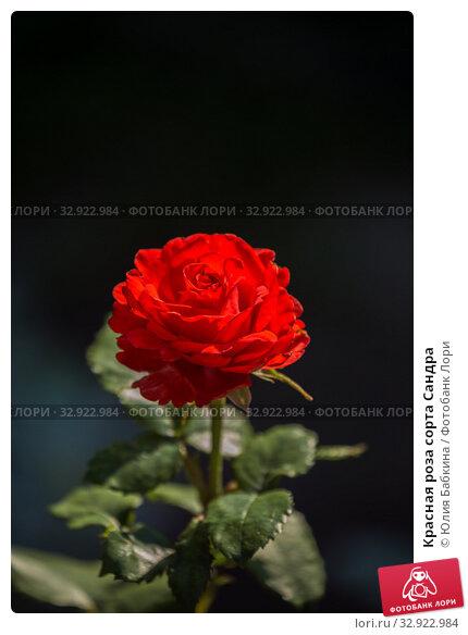 Купить «Красная роза сорта Сандра», фото № 32922984, снято 12 июля 2018 г. (c) Юлия Бабкина / Фотобанк Лори