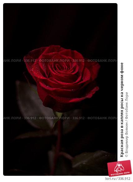 Красная роза в каплях росы на черном фоне, фото № 336912, снято 14 января 2008 г. (c) Владимир Воякин / Фотобанк Лори