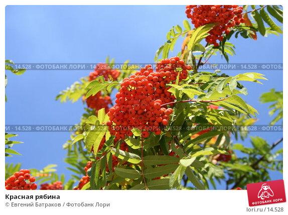 Красная рябина, фото № 14528, снято 7 августа 2006 г. (c) Евгений Батраков / Фотобанк Лори