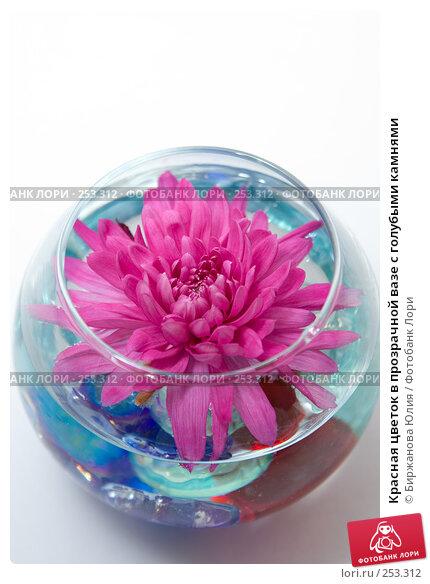 Красная цветок в прозрачной вазе с голубыми камнями, фото № 253312, снято 15 апреля 2008 г. (c) Биржанова Юлия / Фотобанк Лори