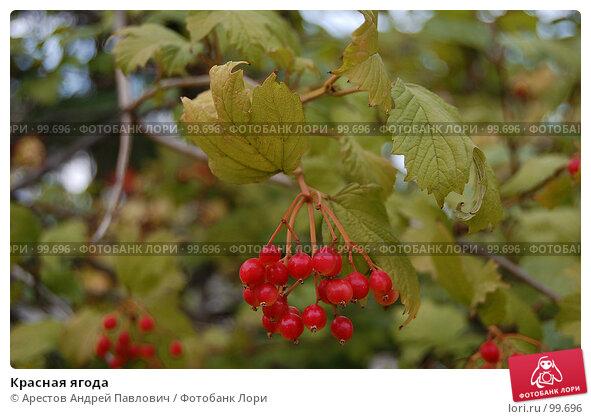 Красная ягода, фото № 99696, снято 1 сентября 2007 г. (c) Арестов Андрей Павлович / Фотобанк Лори