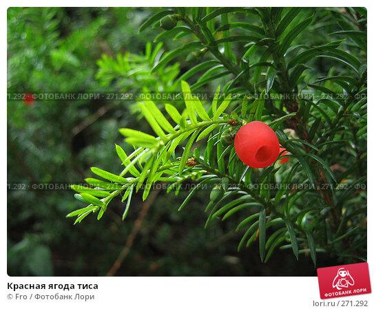Красная ягода тиса, фото № 271292, снято 7 августа 2005 г. (c) Fro / Фотобанк Лори