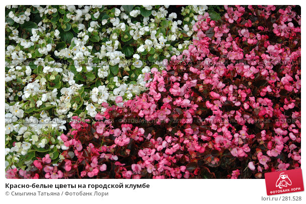 Красно-белые цветы на городской клумбе, фото № 281528, снято 20 июля 2005 г. (c) Смыгина Татьяна / Фотобанк Лори