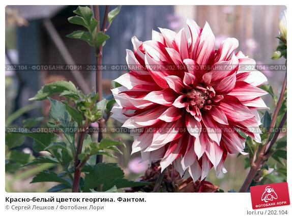 Красно-белый цветок георгина. Фантом., фото № 202104, снято 15 декабря 2007 г. (c) Сергей Лешков / Фотобанк Лори