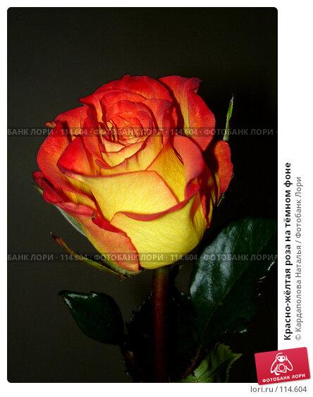 Красно-жёлтая роза на тёмном фоне, фото № 114604, снято 12 июня 2006 г. (c) Кардаполова Наталья / Фотобанк Лори