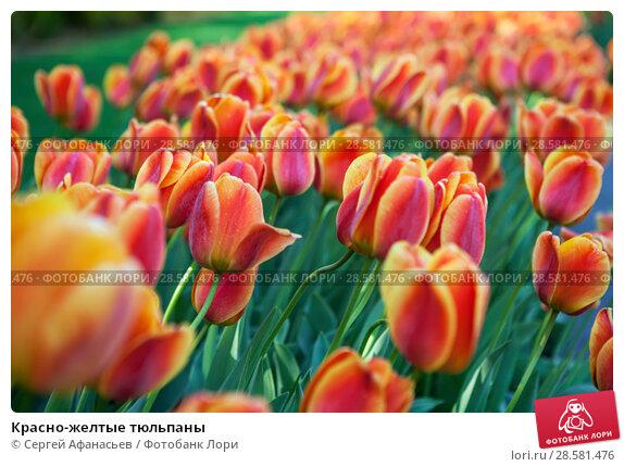 Купить «Красно-желтые тюльпаны», фото № 28581476, снято 4 мая 2018 г. (c) Сергей Афанасьев / Фотобанк Лори
