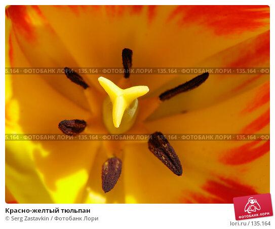 Красно-желтый тюльпан, фото № 135164, снято 20 мая 2005 г. (c) Serg Zastavkin / Фотобанк Лори