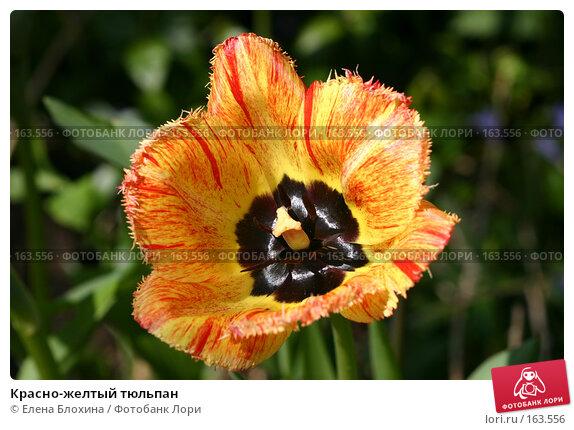 Красно-желтый тюльпан, фото № 163556, снято 10 мая 2007 г. (c) Елена Блохина / Фотобанк Лори