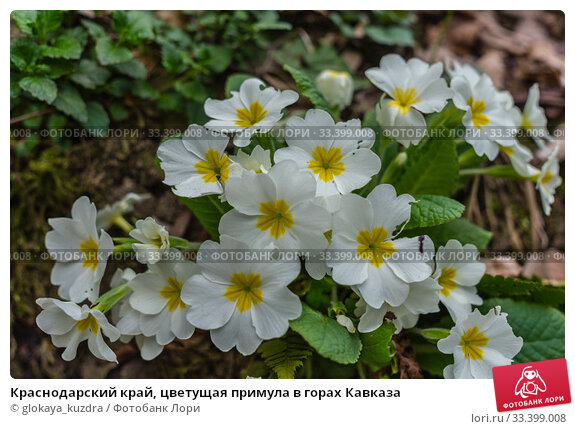 Купить «Краснодарский край, цветущая примула в горах Кавказа», фото № 33399008, снято 12 марта 2020 г. (c) glokaya_kuzdra / Фотобанк Лори