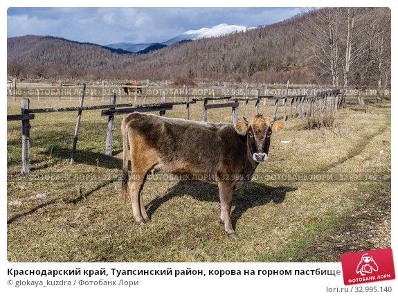 Купить «Краснодарский край, Туапсинский район, корова на горном пастбище», фото № 32995140, снято 24 января 2020 г. (c) glokaya_kuzdra / Фотобанк Лори
