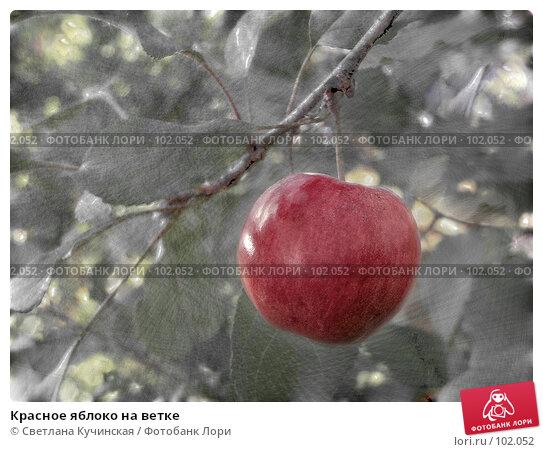 Купить «Красное яблоко на ветке», фото № 102052, снято 26 апреля 2018 г. (c) Светлана Кучинская / Фотобанк Лори