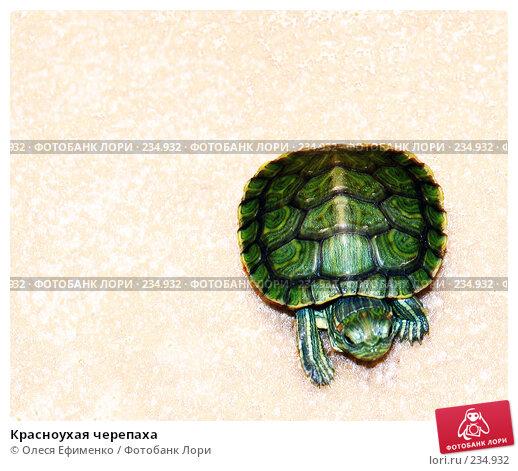 Красноухая черепаха, фото № 234932, снято 25 октября 2016 г. (c) Олеся Ефименко / Фотобанк Лори